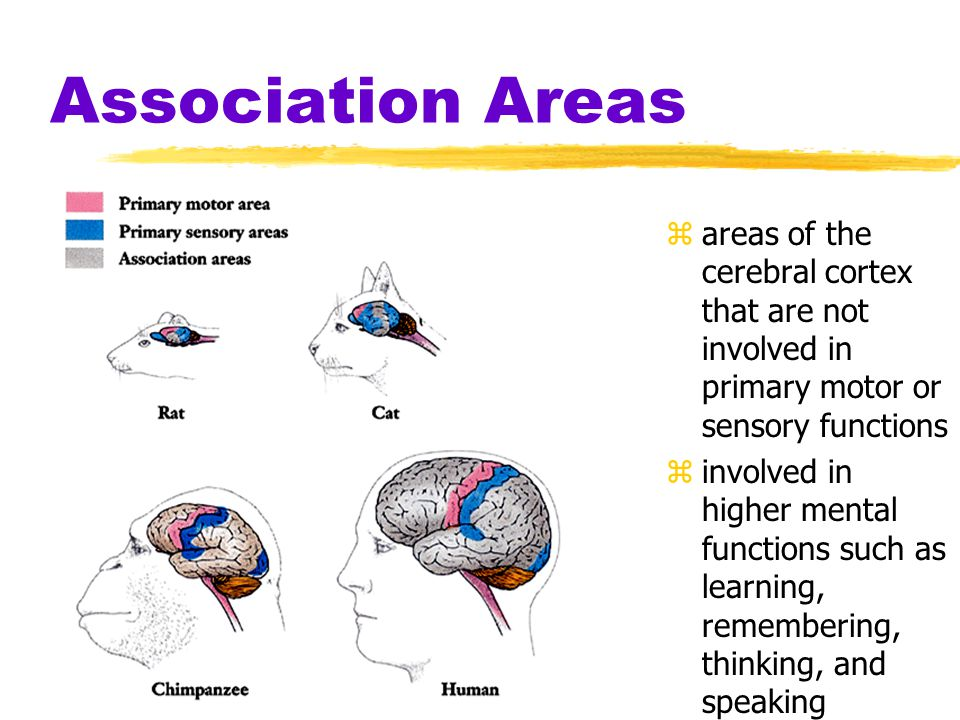 Association Areas areas of the cerebral cortex that are not involved in primary motor or sensory functions.
