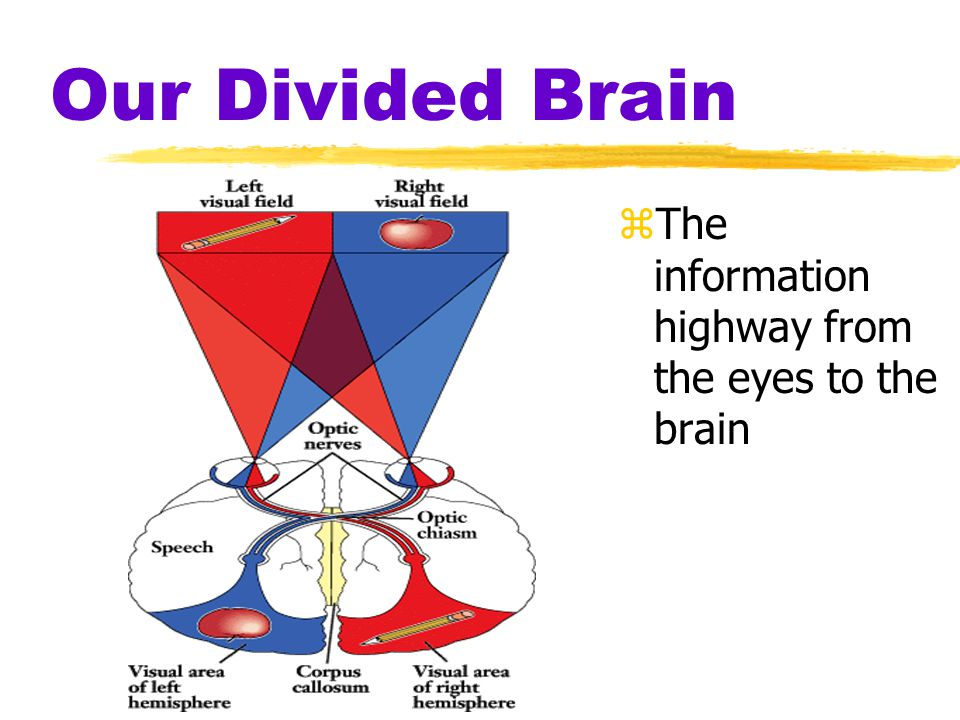 Our Divided Brain The information highway from the eyes to the brain