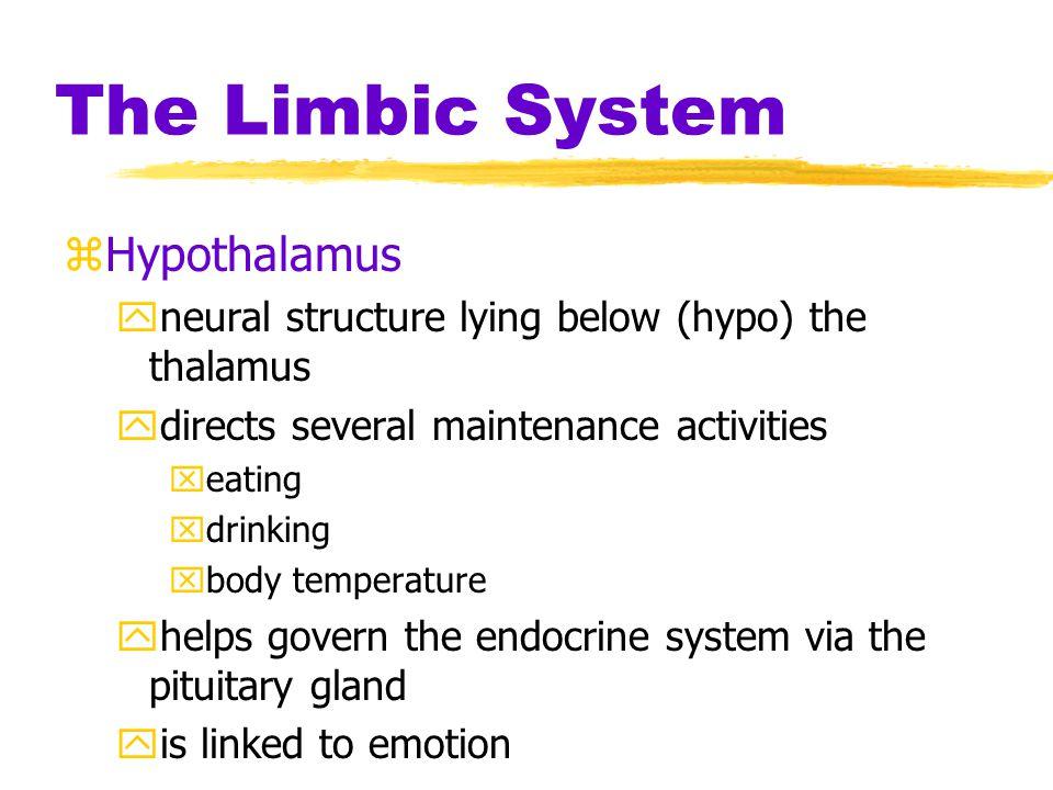 The Limbic System Hypothalamus
