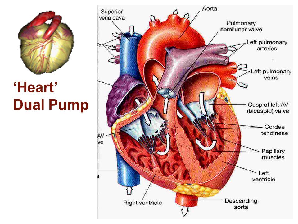 'Heart' Dual Pump Dr. Enas (2009)