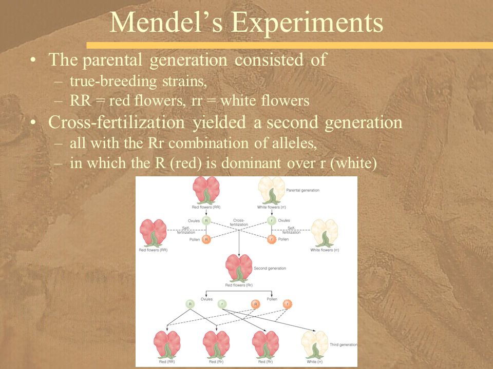 Mendel's Experiments The parental generation consisted of
