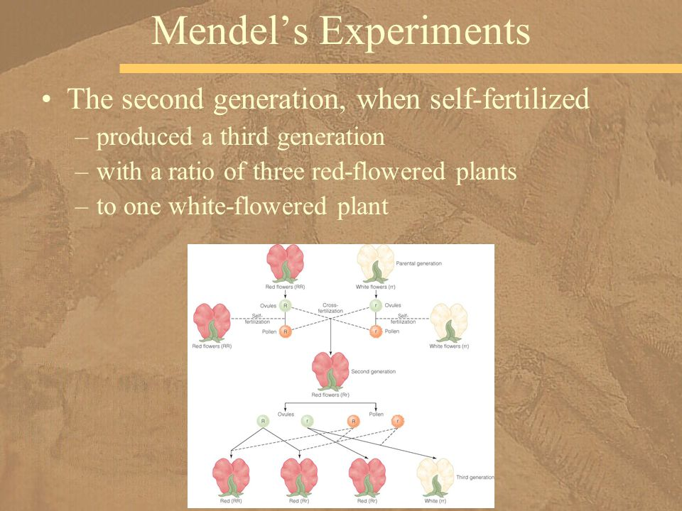 Mendel's Experiments The second generation, when self-fertilized