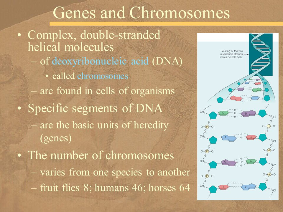 Genes and Chromosomes Complex, double-stranded helical molecules