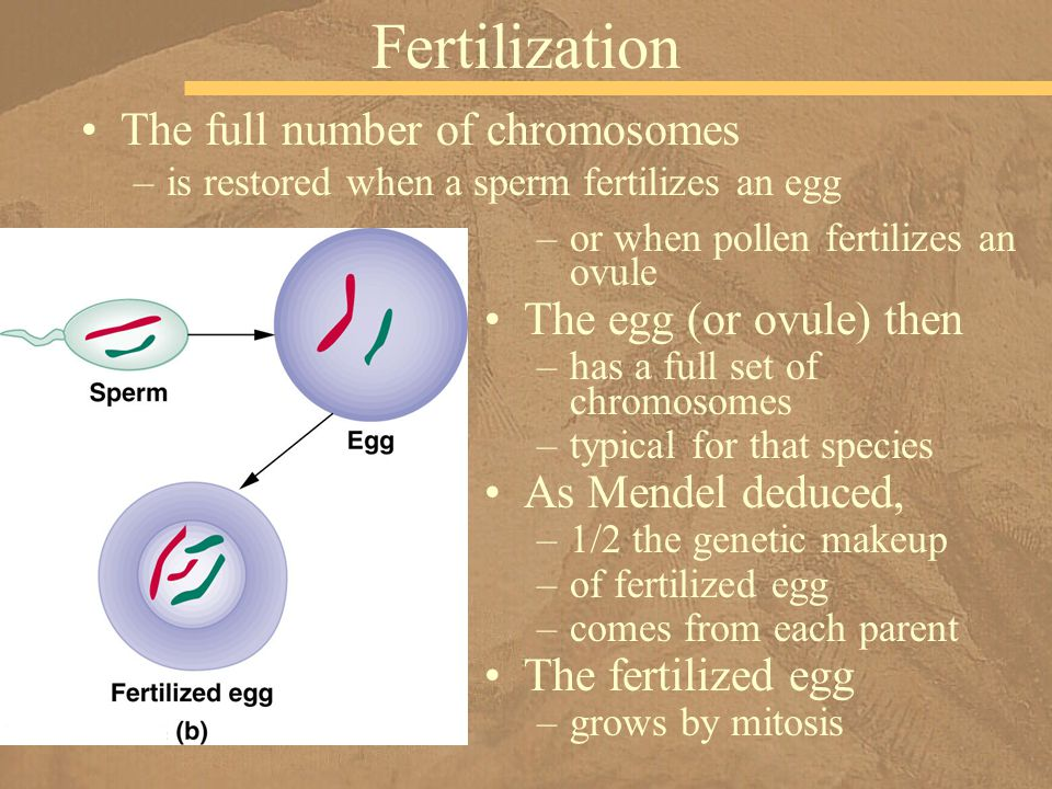Fertilization The full number of chromosomes The egg (or ovule) then