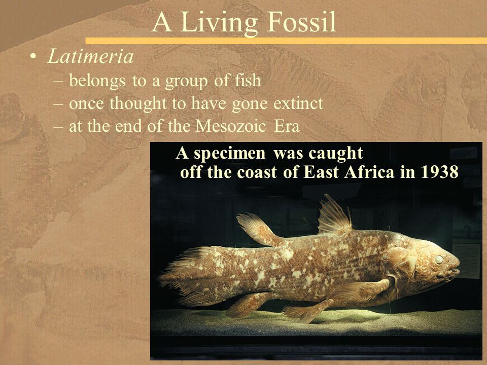 A Living Fossil Latimeria belongs to a group of fish