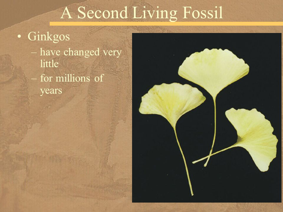 A Second Living Fossil Ginkgos have changed very little
