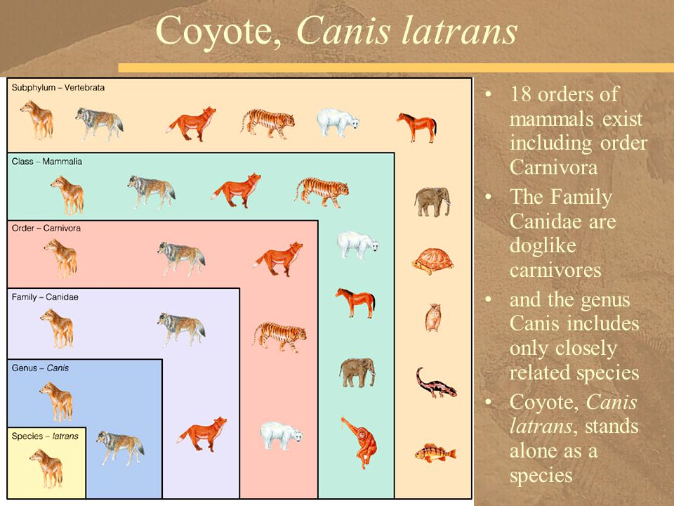 Coyote, Canis latrans 18 orders of mammals exist including order Carnivora. The Family Canidae are doglike carnivores.