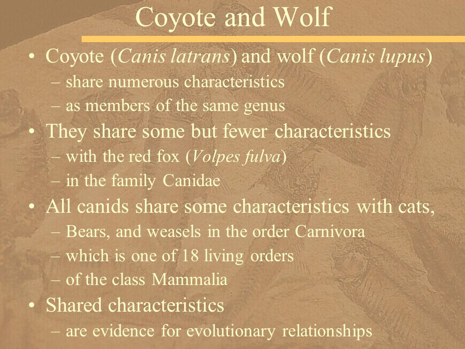 Coyote and Wolf Coyote (Canis latrans) and wolf (Canis lupus)