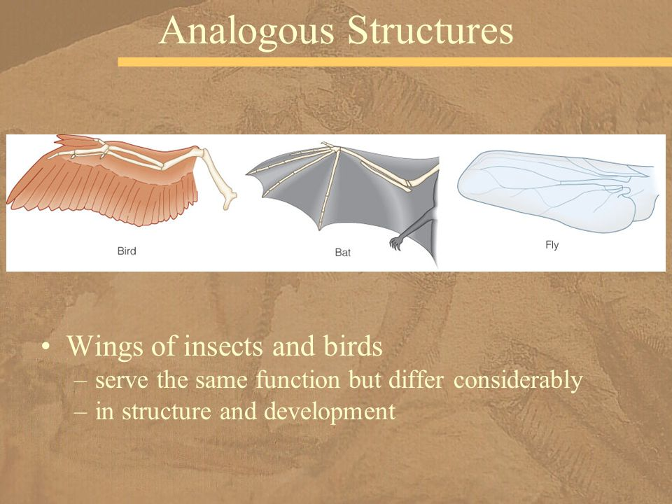 Analogous Structures Wings of insects and birds