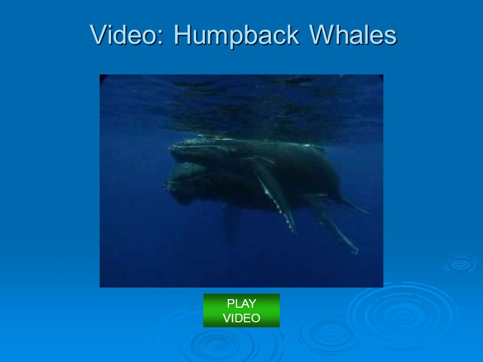 Video: Humpback Whales