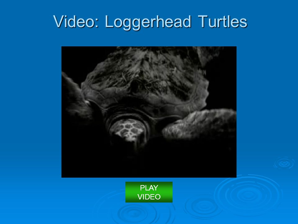 Video: Loggerhead Turtles