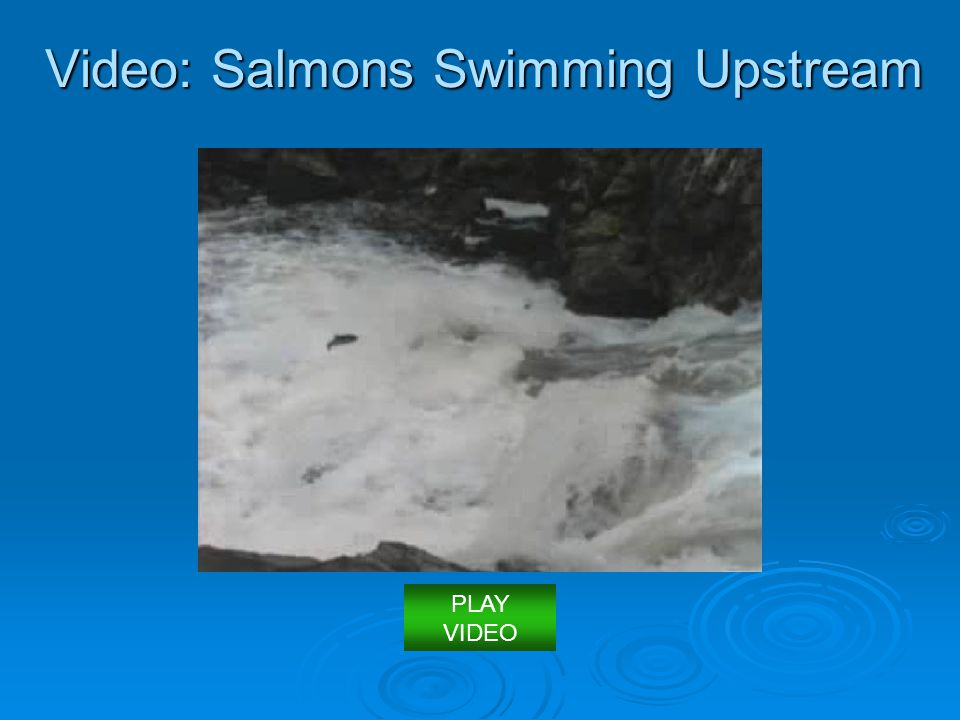 Video: Salmons Swimming Upstream
