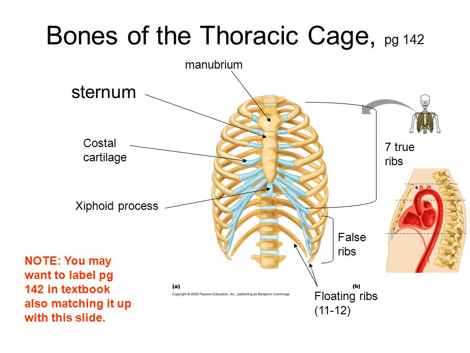 Bones of the Thoracic Cage, pg 142