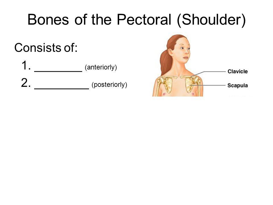 Bones of the Pectoral (Shoulder)