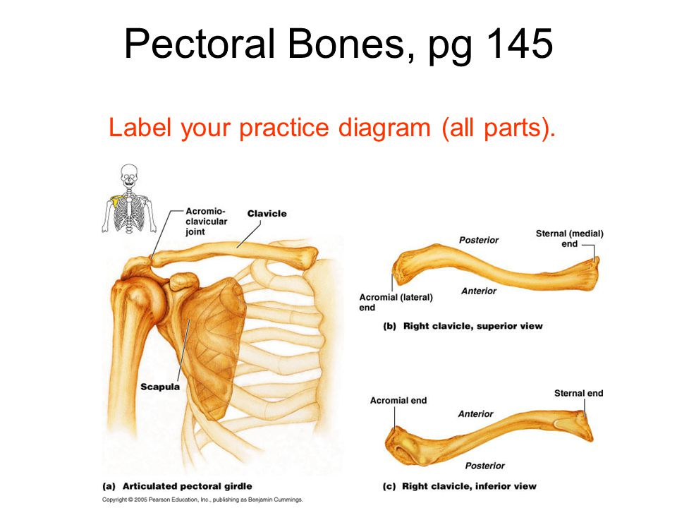 Pectoral Bones, pg 145 Label your practice diagram (all parts).