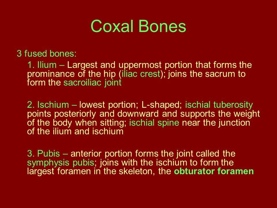 Coxal Bones 3 fused bones: