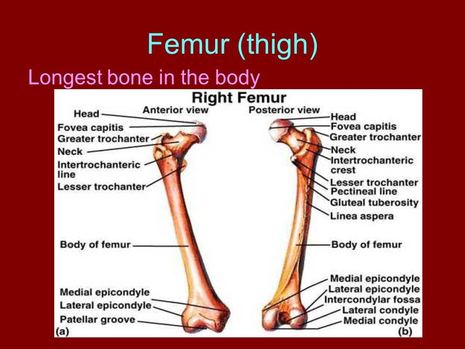Femur (thigh) Longest bone in the body