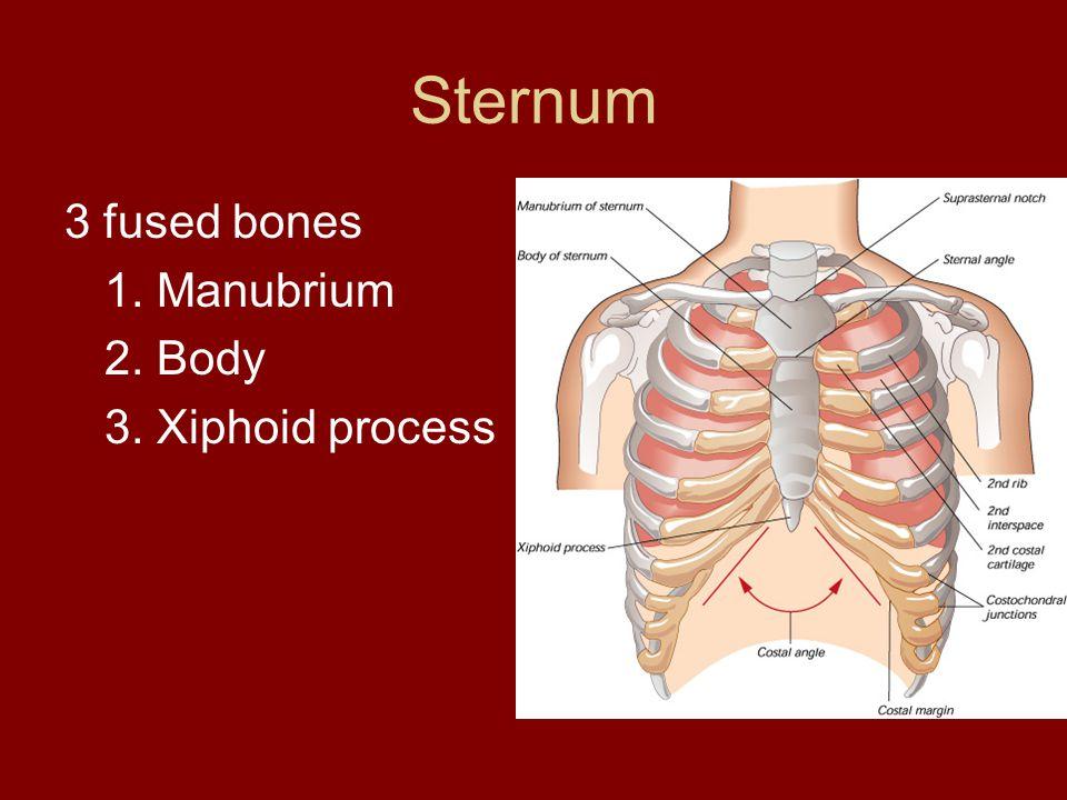 Sternum 3 fused bones 1. Manubrium 2. Body 3. Xiphoid process