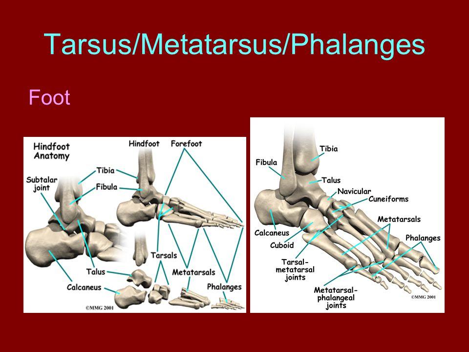 Tarsus/Metatarsus/Phalanges