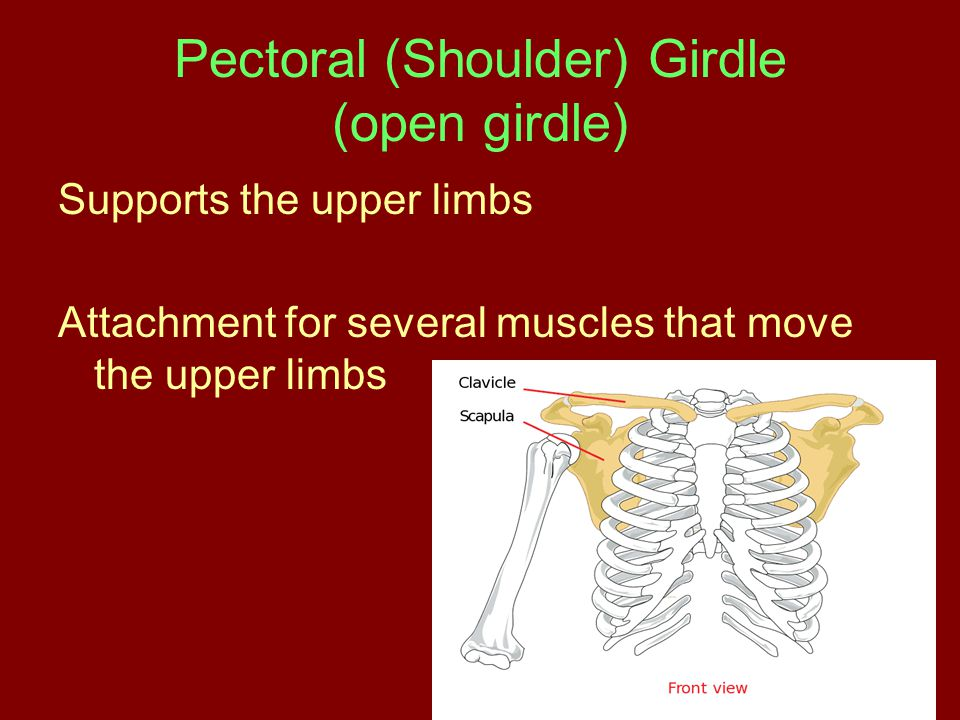 Pectoral (Shoulder) Girdle (open girdle)