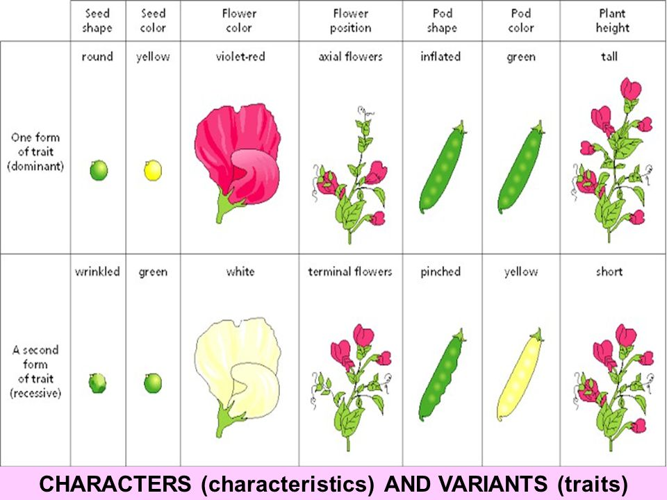 CHARACTERS (characteristics) AND VARIANTS (traits)