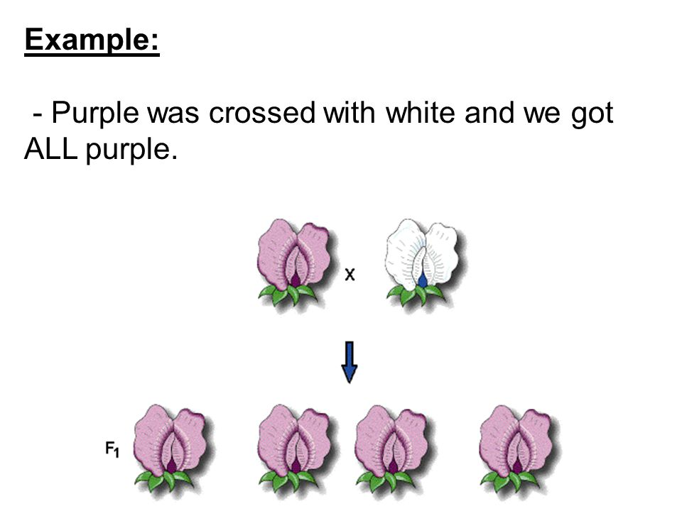 Example: - Purple was crossed with white and we got ALL purple.