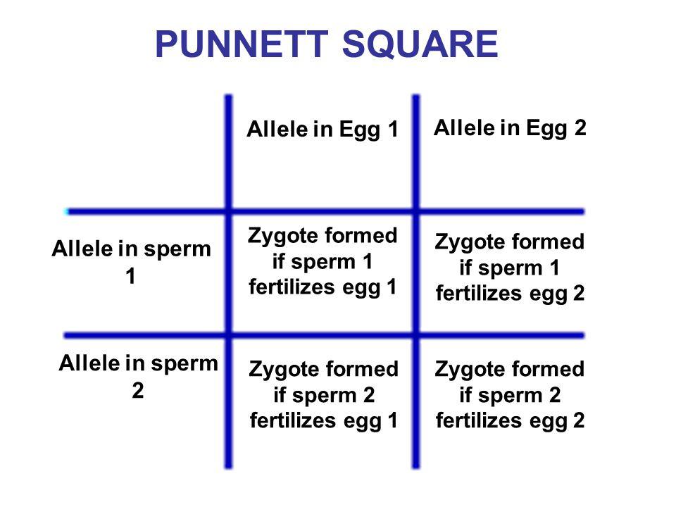 PUNNETT SQUARE Allele in Egg 1 Allele in Egg 2 Allele in sperm 1