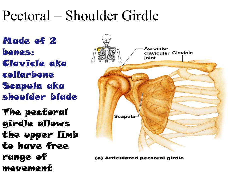 Pectoral – Shoulder Girdle