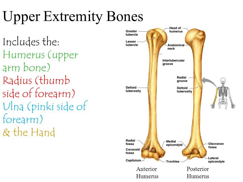 Upper Extremity Bones Includes the: Humerus (upper arm bone)