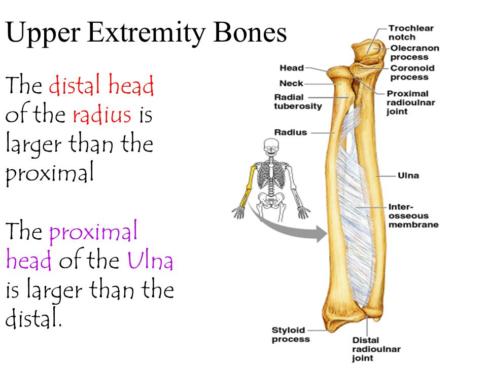 Upper Extremity Bones The distal head of the radius is larger than the proximal.