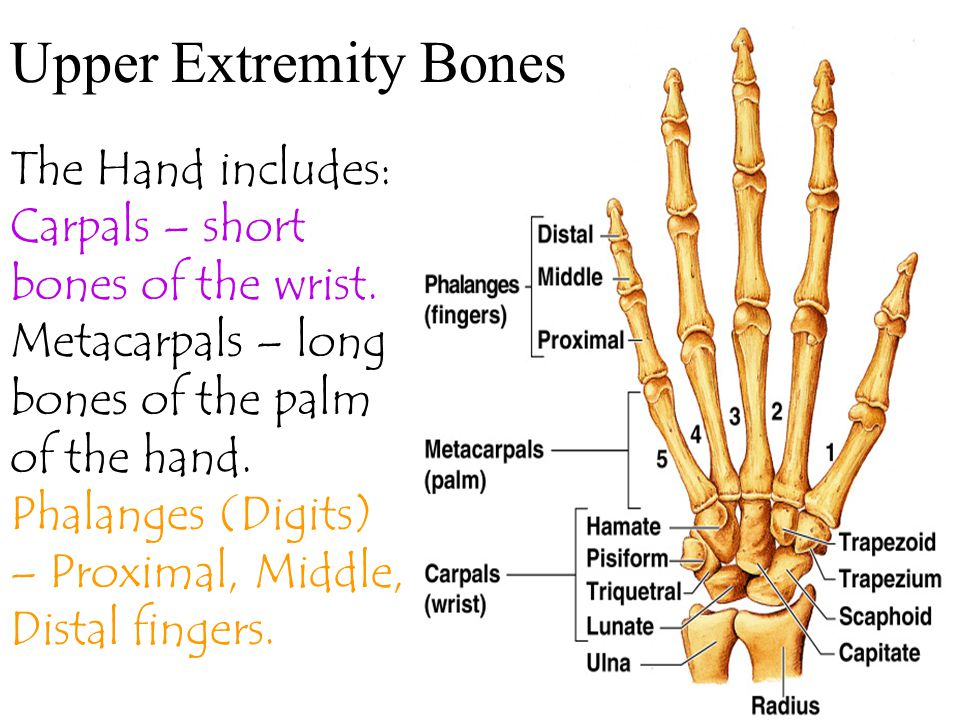 Upper Extremity Bones The Hand includes:
