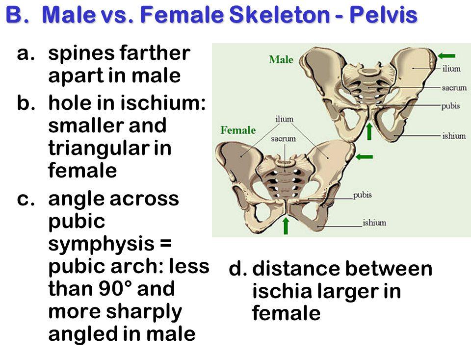 B. Male vs. Female Skeleton - Pelvis