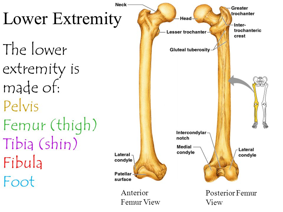 Lower Extremity The lower extremity is made of: Pelvis Femur (thigh)