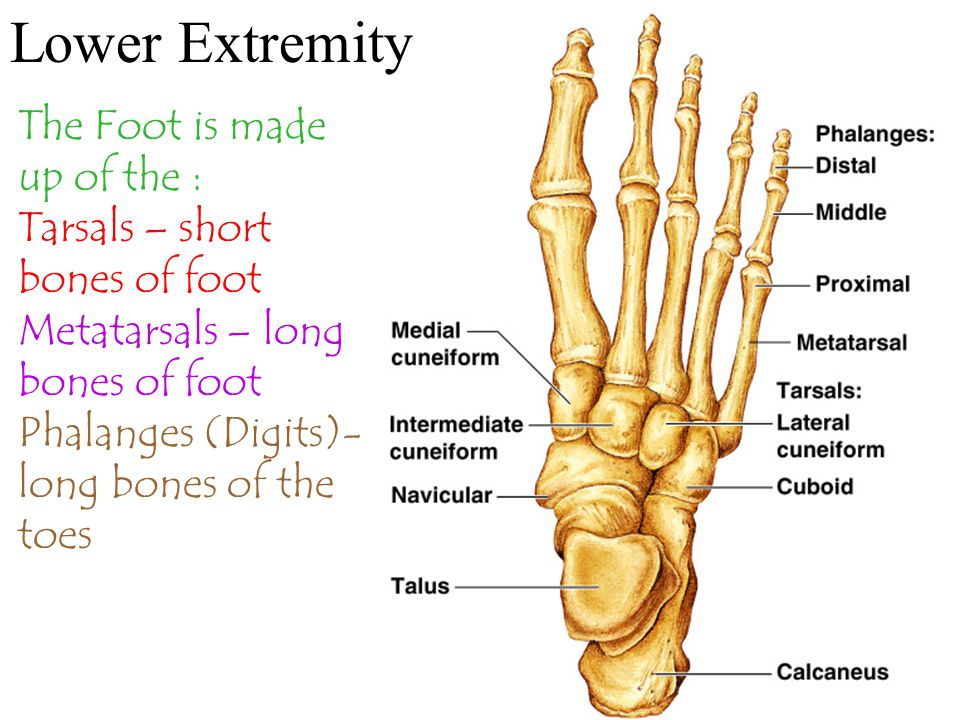 Lower Extremity The Foot is made up of the :