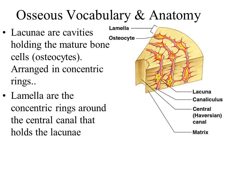 Osseous Vocabulary & Anatomy