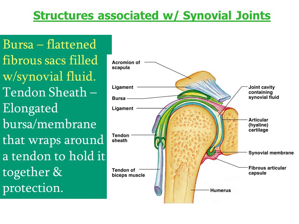 Structures associated w/ Synovial Joints