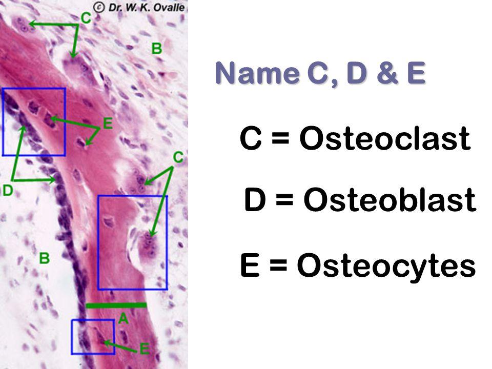 C = Osteoclast D = Osteoblast E = Osteocytes Name C, D & E