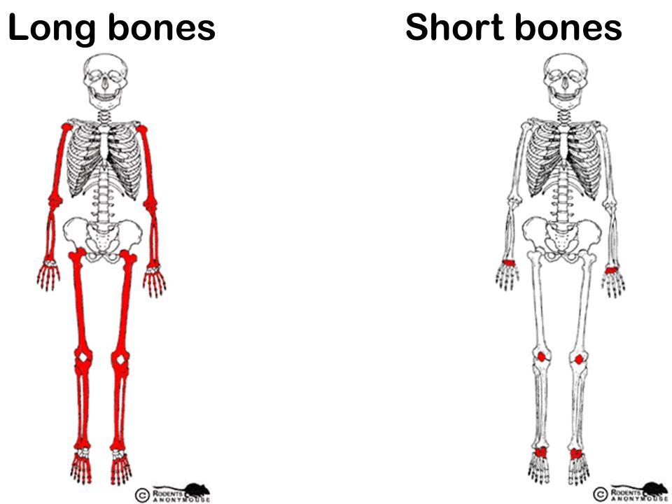 Long bones Short bones