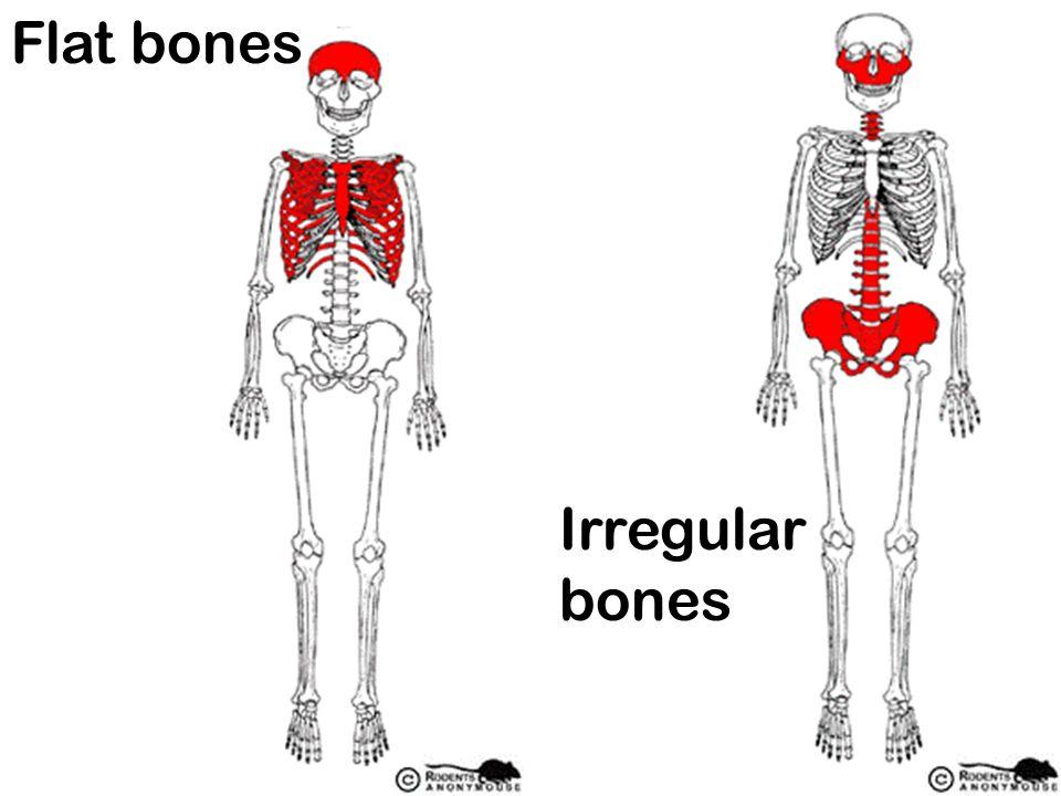 Flat bones Irregular bones