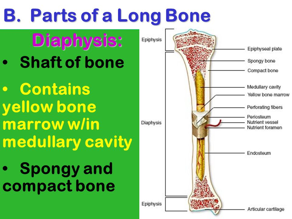 Parts of a Long Bone Diaphysis: Shaft of bone