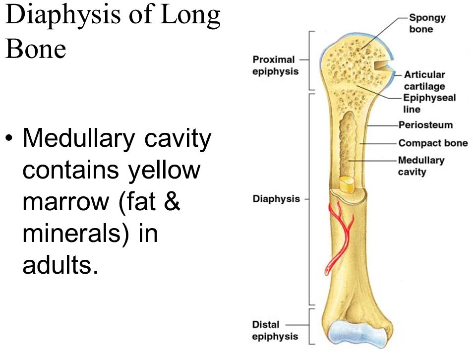 Diaphysis of Long Bone Medullary cavity contains yellow marrow (fat & minerals) in adults.