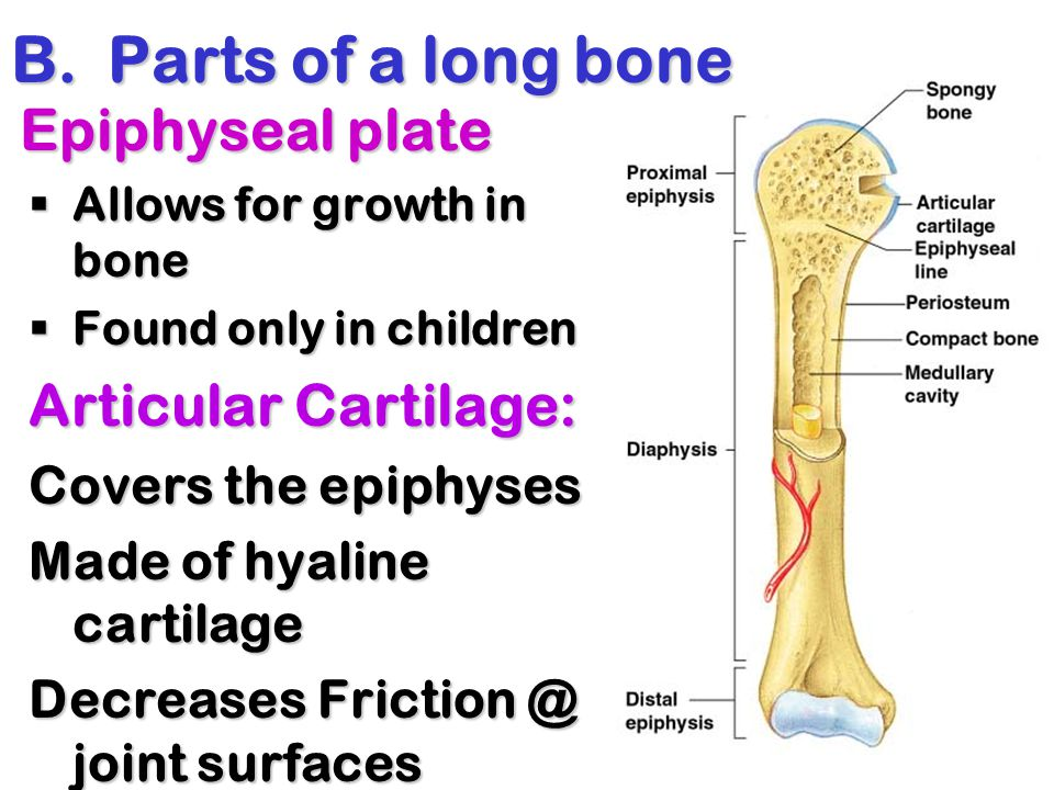 Parts of a long bone Epiphyseal plate Articular Cartilage: