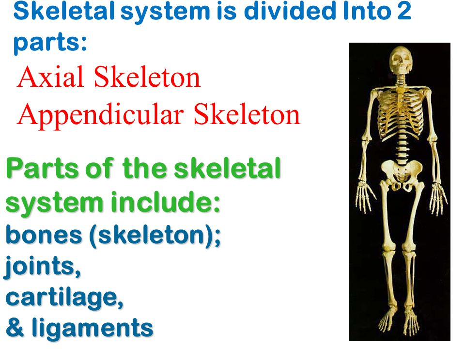 Skeletal system is divided Into 2 parts:
