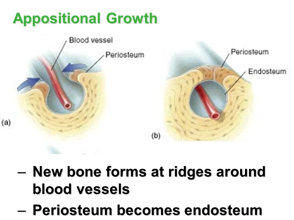 New bone forms at ridges around blood vessels