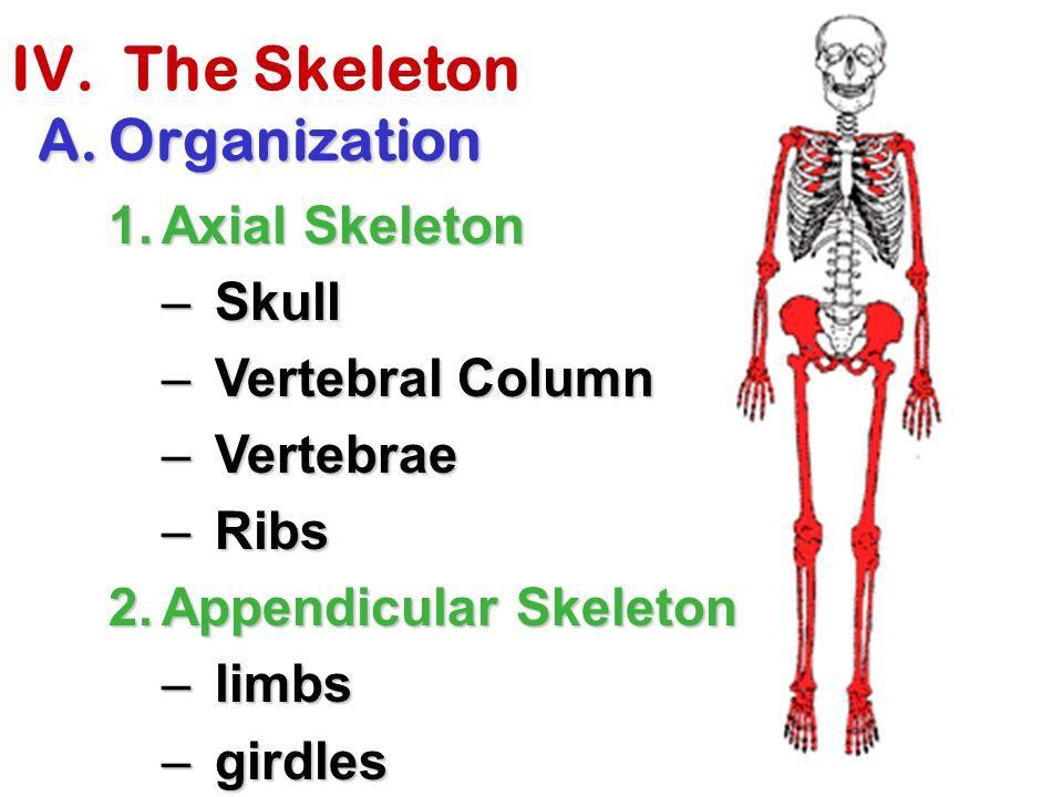 IV. The Skeleton Organization Axial Skeleton Skull Vertebral Column