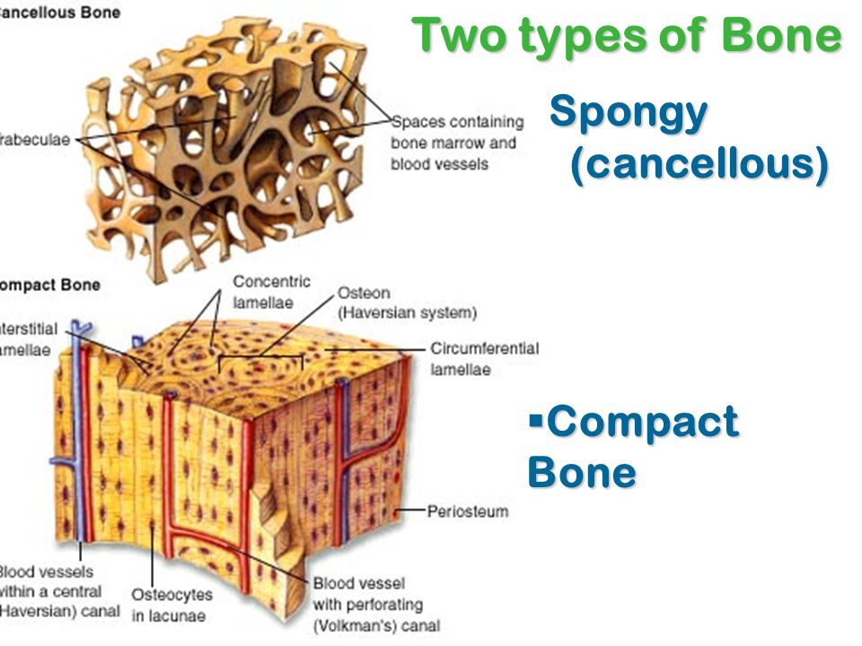 Two types of Bone Spongy (cancellous) Compact Bone