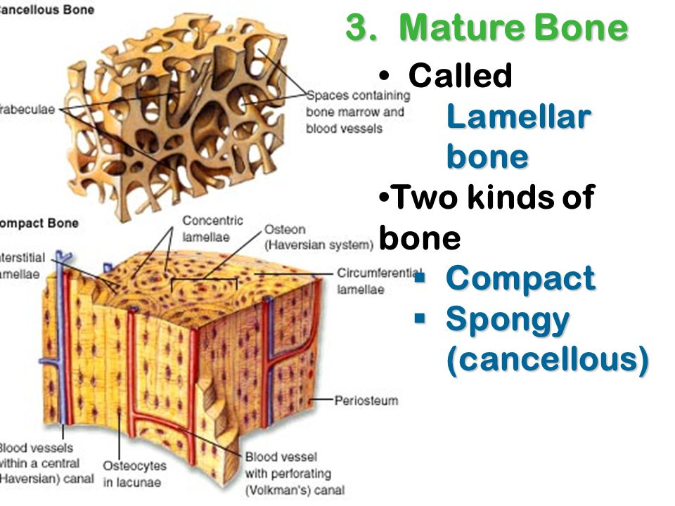 The interconnecting tiny arches of bone tissue found in spongy bone are called