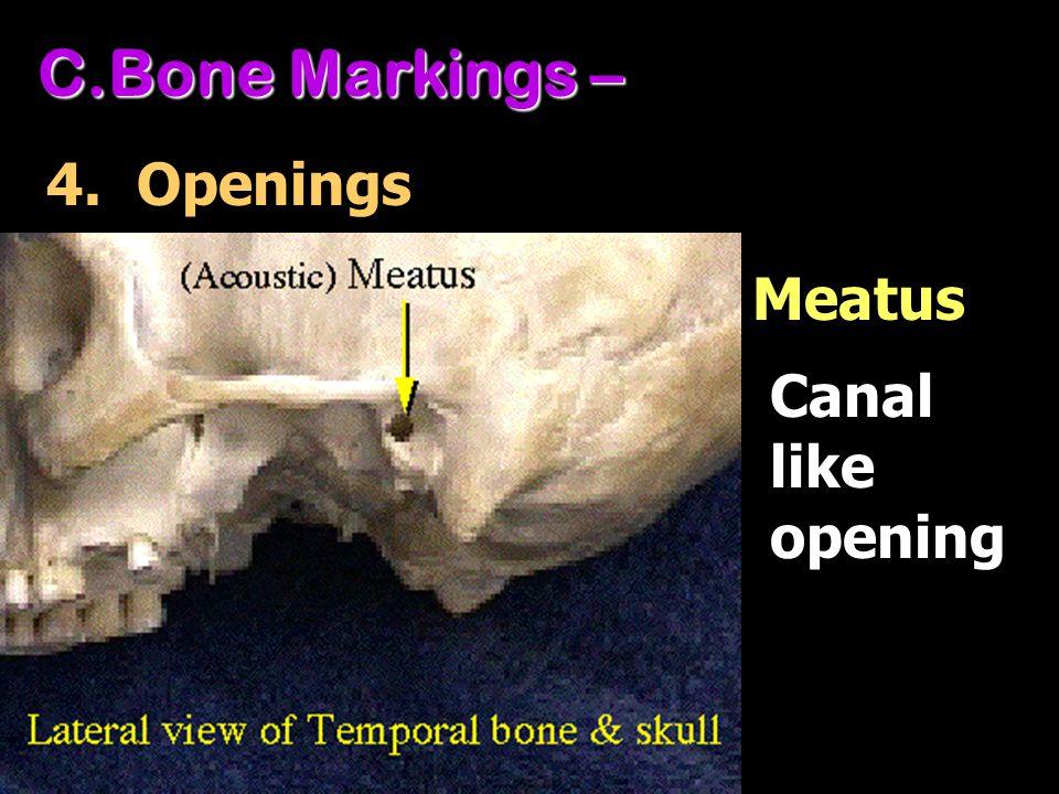 Bone Markings – 4. Openings Meatus Canal like opening