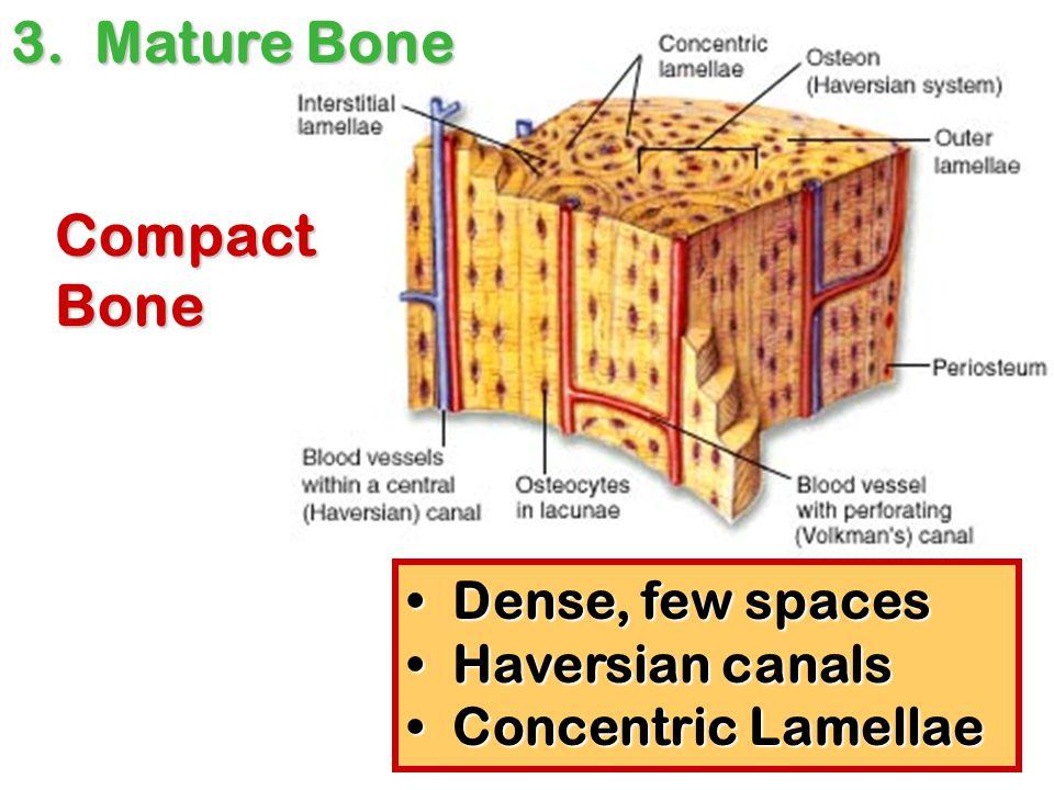 3. Mature Bone Compact Bone Dense, few spaces Haversian canals