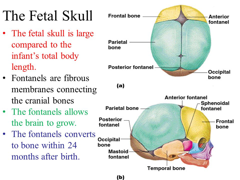 The Fetal Skull The fetal skull is large compared to the infant's total body length. Fontanels are fibrous membranes connecting the cranial bones.